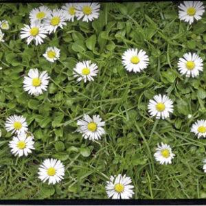 88 Gänseblumen   Wechselcover Für Umhängetasche